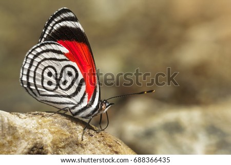 Beautiful butterfly diaethria also called 88