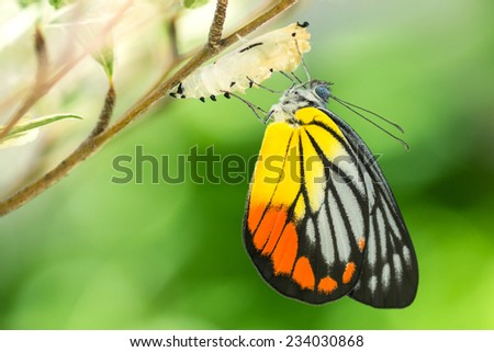 Beautiful butterfly emerges from a cocoon #234030868