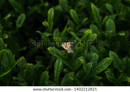 Beautiful butterfly hiding standing between the tea leaves.