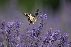 Beautiful butterfly in a lavender field, Italy