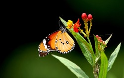 Beautiful butterfly on flower  (Common tiger butterfly)