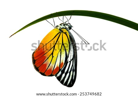 Beautiful butterfly Painted Jezebel isolated on white background (Deilas hyparete)