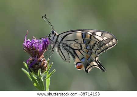 Beautiful butterfly (Papilio Machaon) resting on a flower