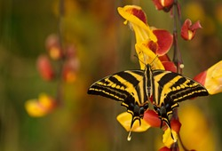 Beautiful butterfly Papilio pilumnus in tropical forest sitting on blossom. Butterfly insect macro shot,