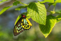 Beautiful butterfly (Queen Alexandra's Birdwing, Ornithoptera alexandrae) sits on leaves. It is the largest butterfly in the world and is endangered. Selective focus on subject.