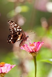 Beautiful butterfly rests on a flower in the Lake Manyara National Park, Tanzania