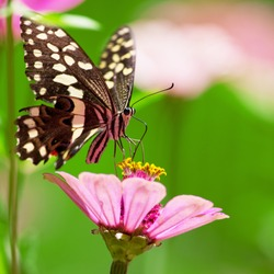 Beautiful butterfly rests on a pink flower in the Lake Manyara National Park, Tanzania