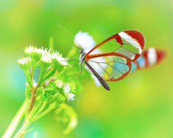 Beautiful butterfly sitting on fresh wild flower in the forest, Glasswinged butterfly, Greta oto, gorgeous insect from Costa Rica, Central America