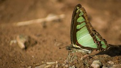 beautiful  butterfly sitting on ground. glassy blue bottle ( graphium colanthus )