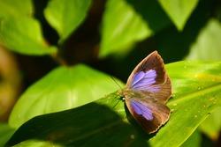 Beautiful butterfly sitting on leaf. rare butterfly of himalayas India  dark himalayan oakblue ( arhopala rama ) .