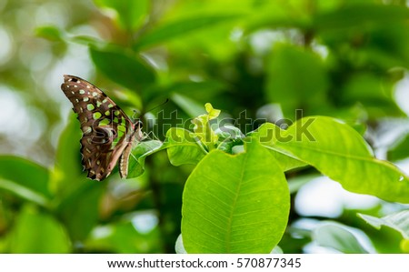 Beautiful  butterfly ( Tailed Jay) on the leaves with blur background. #570877345