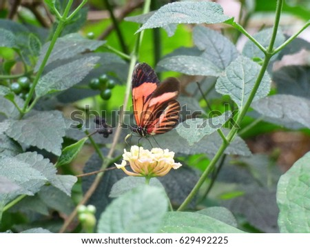 Beautiful butterfly with orange, black and brown wings, sipping nectar from a pale yellow flower #629492225