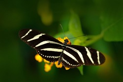 Beautiful butterfly Zebra Longwing, Heliconius charitonius in nature habitat. Nice insect from Costa Rica. Insect sitting on the yellow flower bloom. Widlife nature, butterfly from tropic jungle.
