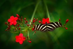 Beautiful butterfly Zebra Longwing, Heliconius charitonius. Nice insect from Costa Rica in the green forest. Butterfly with red flower bloom in the tropic jungle, green vegetation.