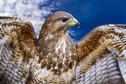 Beautiful buzzard bird Buteo Buteo