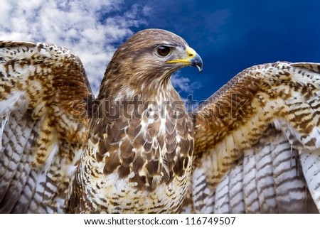 Beautiful buzzard bird Buteo Buteo
