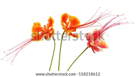 beautiful Caesalpinia pulcherrima flowers isolated on white Background #518218612