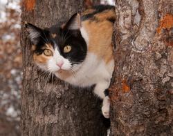 Beautiful calico cat peeking through two tree trunks