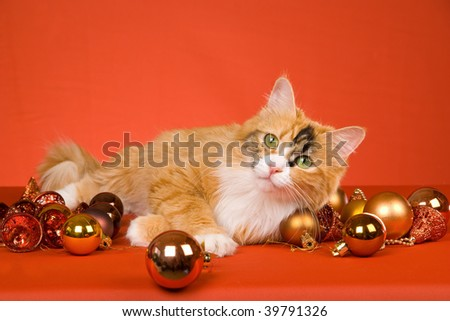 Beautiful Calico cat with Christmas ornaments on orange background