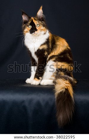 black maine coon cat characteristics