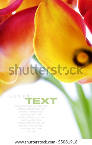 Beautiful calla lilies, isolated on white, with soft shadow