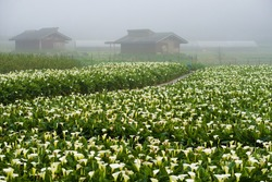 Beautiful calla lily field on the Yangmingshan at Taipei city. Against house and misty background. A small pathway in the field.