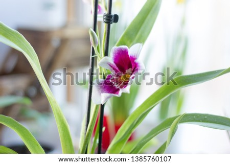 Beautiful cambria orchid on a bright window.