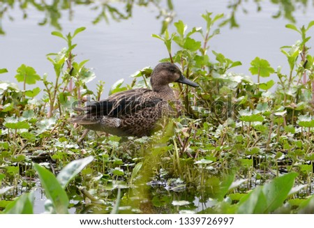 Beautiful Canadian duck with its brown plumage, standing on wetland aquatic plants #1339726997