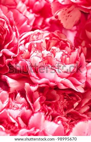 Beautiful carnation flowers
