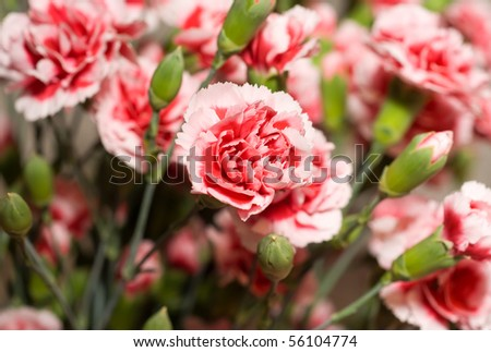 Beautiful carnation flowers or pinks in the flowerbed