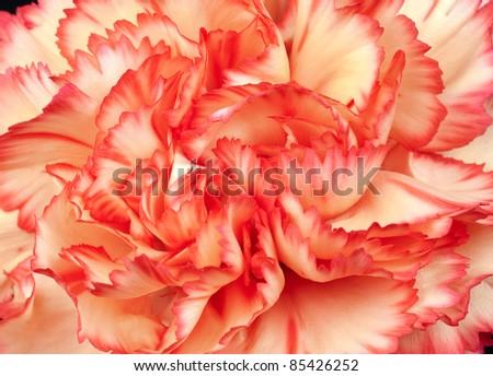 Beautiful Carnation Petals macro