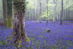 Beautiful carpet of bluebell flowers in misty Spring forest landscape