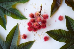 Beautiful castor oil plant, Ricinus communis, herbaceous shrub, poisonous, toxic seed, close-up, ricin, on white background, leaves and seeds