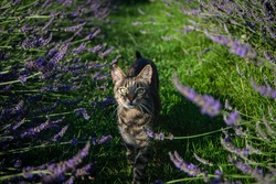 beautiful cat and lavender bloom in summer in the garden, gray cat sits near lavender bushes and green fresh grass, cat looks at lavender close-up, aromatherapy,