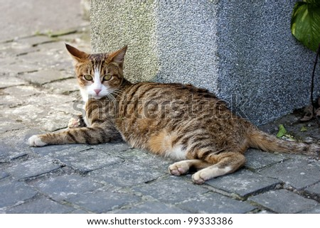 beautiful cat brown with black stripes looking ahead - stock photo
