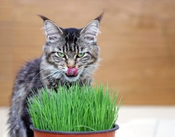 Beautiful cat eating and enjoying catnip or cat grass. Portrait of a cute female maine coon cat (Felis silvestris catus) tasting grass from the flower pot to heal her dygestive system and stomach.