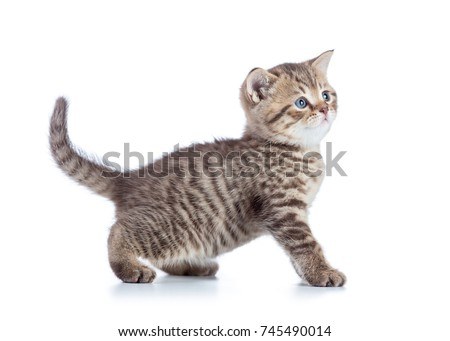 Beautiful cat kitten isolated on white background