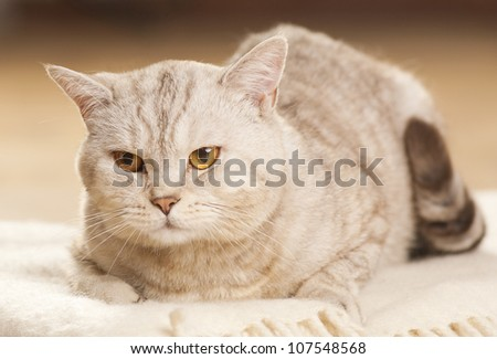 Beautiful cat laying relaxed on a blanket
