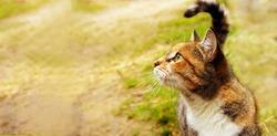 beautiful cat looks away, walks outdoors, text space, banner cat
