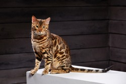 beautiful cat of Bengali breed. Young domestic cat. Exhibition animal. Cat or cat spotty color.