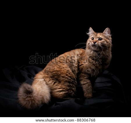 Beautiful cat on black background