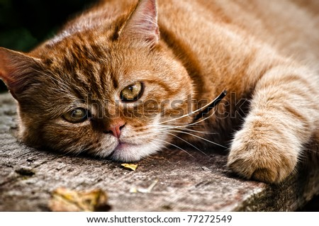 Beautiful cat portrait, the red cat lays on wood and looks into the camera