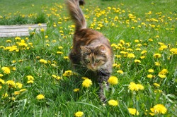 Beautiful cat sitting on the green grass with yellow dandelions