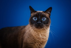 Beautiful cat with amazing blue eyes posing for the camera.