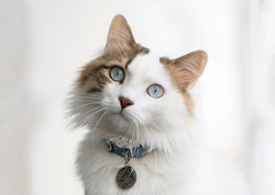 Beautiful cat with blue eyes and white long hair