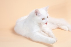 Beautiful cat with fluffy white pure color fur and yellow big eyes