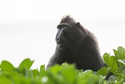 Beautiful Celebes crested macaque (Macaca nigra), aka the black ape, an Old World monkey, in the Tangkoko nature reserve on the Indonesian island of Sulawesi, during a ecotourism jungle hike
