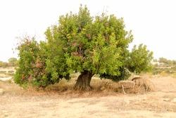 Beautiful Ceratonia Siliqua tree in the countryside under the sun in Spain