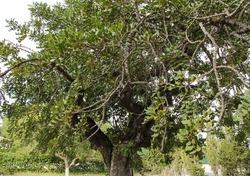 Beautiful Ceratonia Siliqua tree in the garden under the sun in Spain