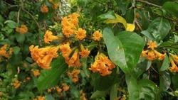 beautiful Cestrum aurantiacum orange cestrum jessamine  yellow cestrum flower blooms